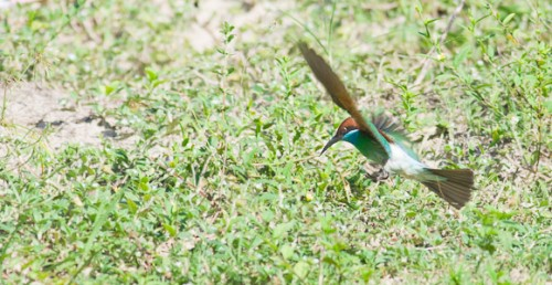 Blue-throated Bee-eater (Mereps viridis)