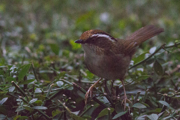 Rusty-capped fulvetta