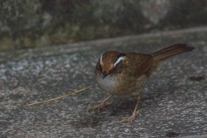 Rusty-capped Fulvetta (Alcippe dubia)