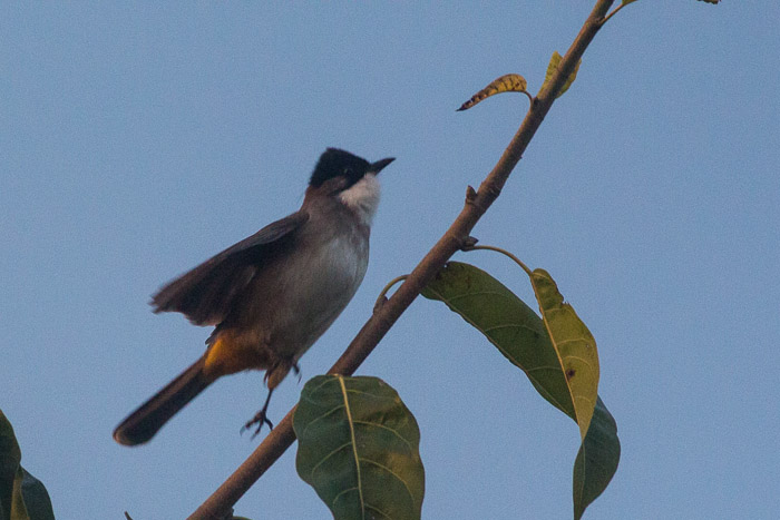 brown breasted bulbul
